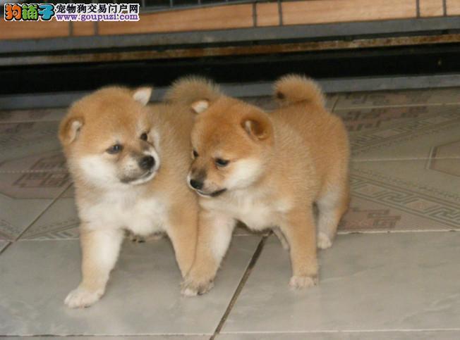 聪明活泼,纯种柴犬宝宝出售 实体犬舍繁殖