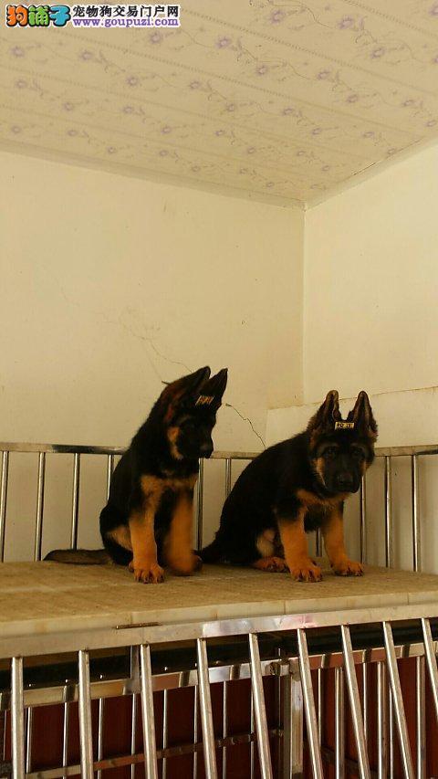 锤系德国牧羊犬,繁殖基地,出售锤系德牧犬