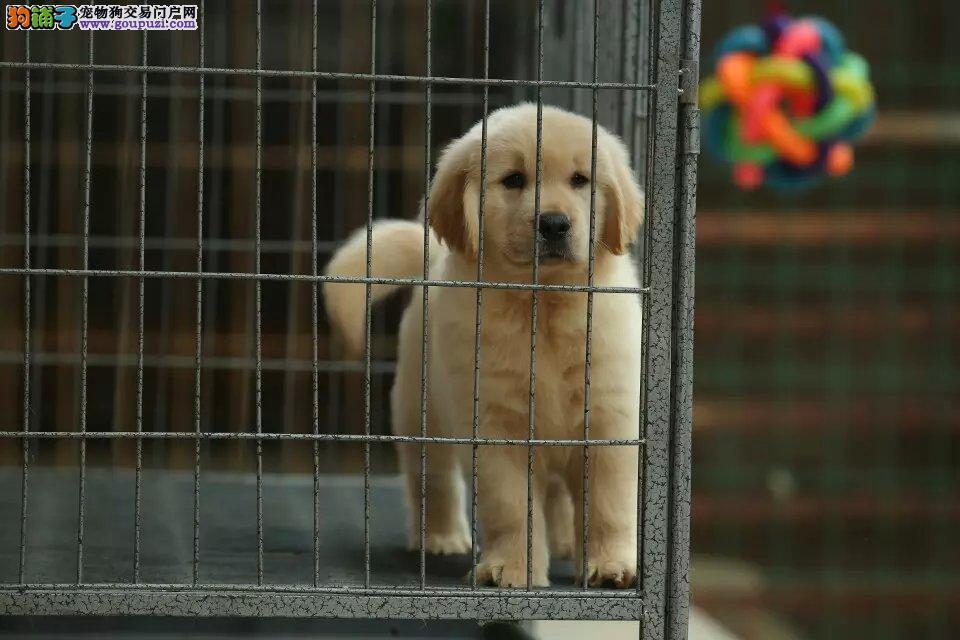 金毛犬基地,纯种双血统纯种金毛犬