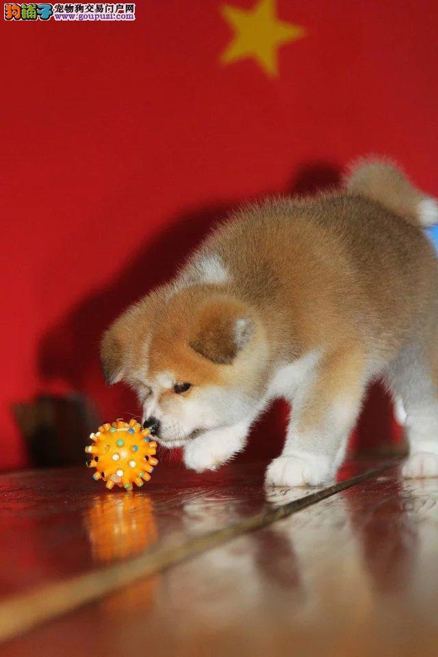 出售纯种秋田犬,可查秋保,可送货可视频