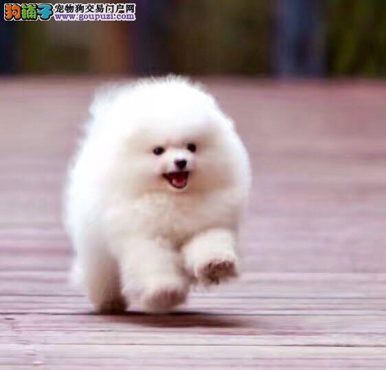 哈多利球体博美犬,专业养殖基地,颜色全