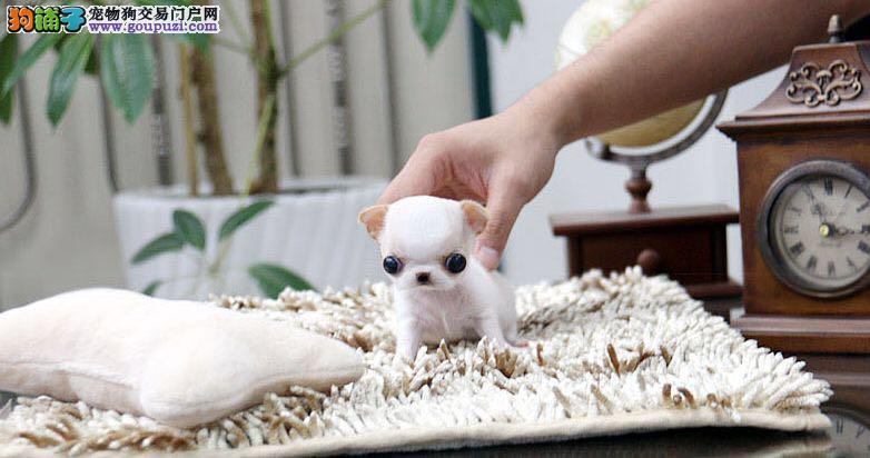 可爱娃娃,繁殖犬舍,常年出售幼犬