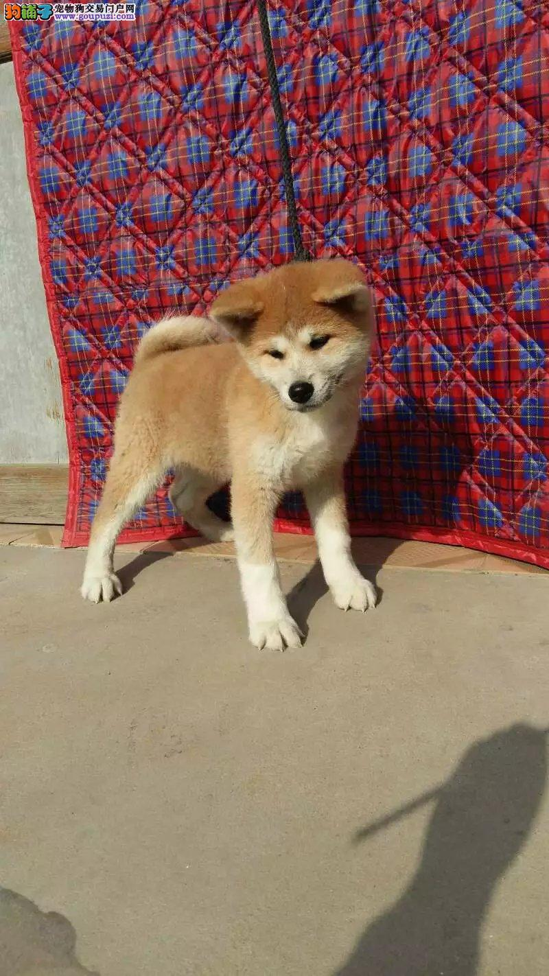 健康纯种日系秋田犬,三个月包退换,签协议