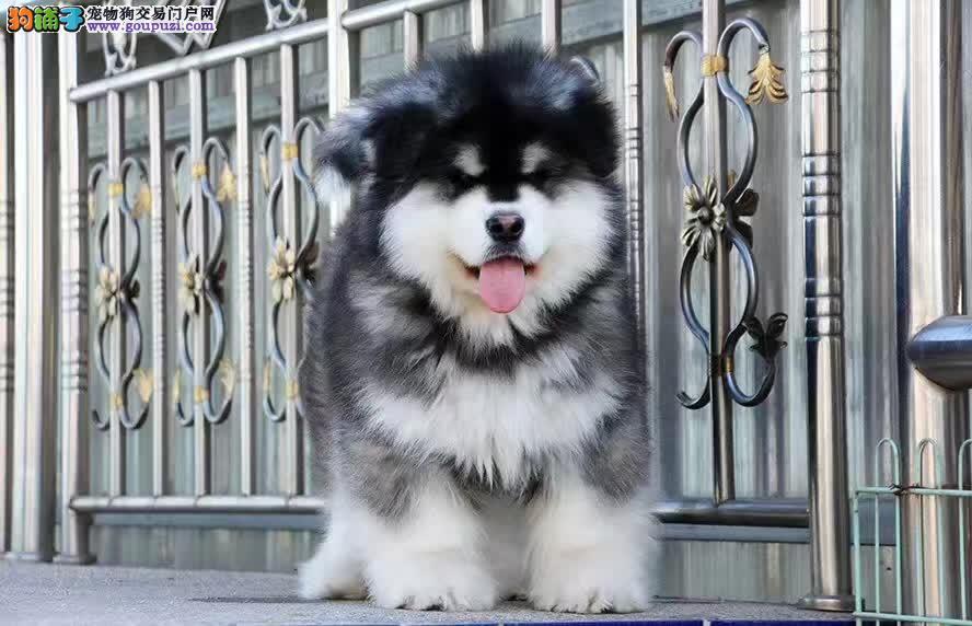 熊版纯种阿拉斯加犬,正规犬舍繁殖,