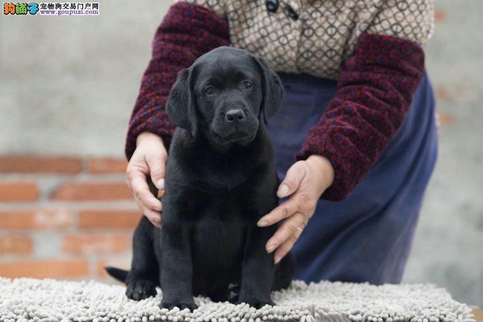 纯种拉布拉多犬,赛级冠军后代,带证书,可看大狗