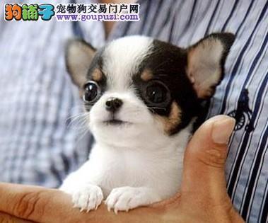 可爱茶杯娃娃犬,实体犬舍出售,可看大狗