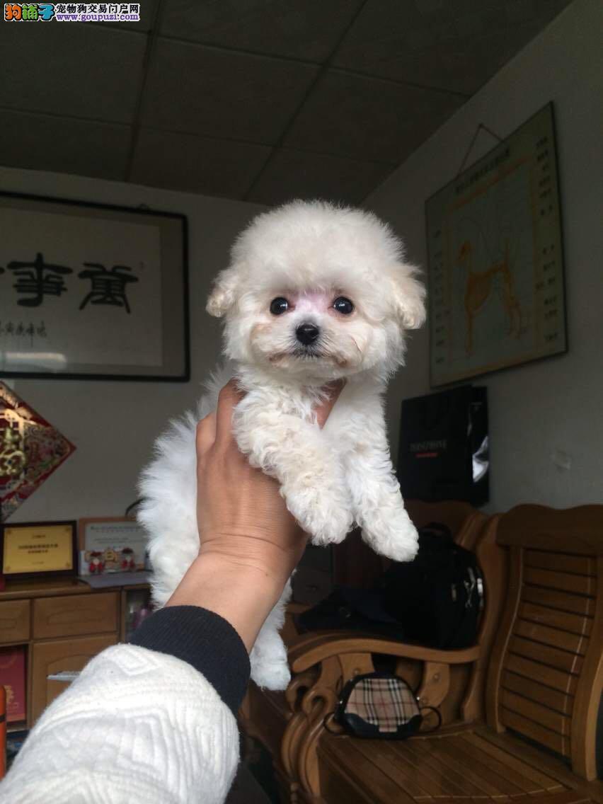 贵宾泰迪犬,三个月包退换,不掉毛,签协议质保