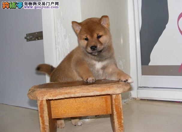 柴犬养殖基地,常年出售纯种柴犬幼犬