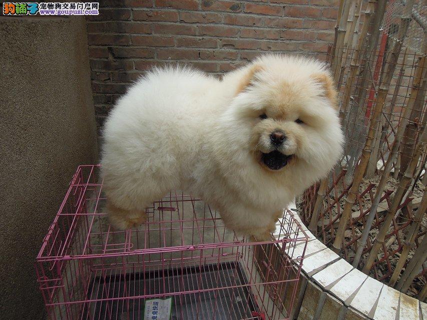 肉嘴纯种松狮犬,骨量足,正规犬舍出售