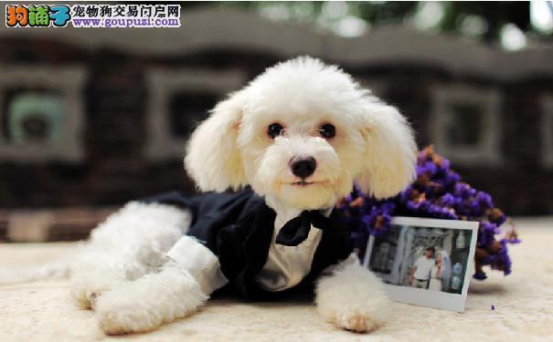 济南繁育纯种泰迪犬出售 玩具犬泰迪白色香槟色包健康