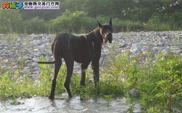 国际注册犬舍 出售极品赛级大丹犬幼犬衢州市内免费送货