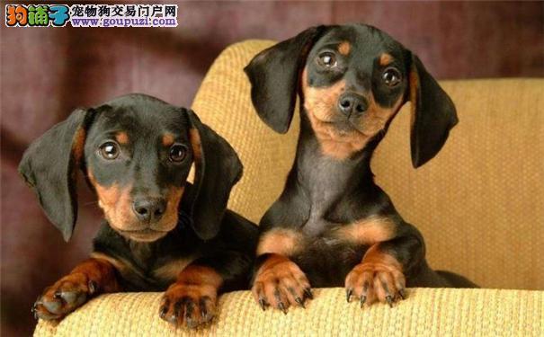 腊肠犬价格/多少钱_腊肠犬图片、出售、买卖宠物
