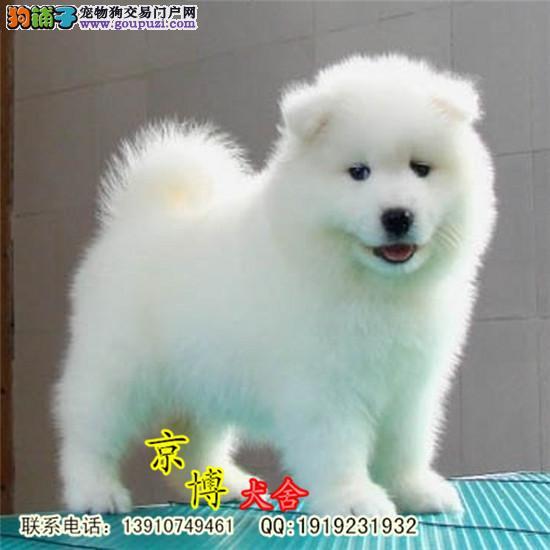 北京纯种萨摩耶犬价格 纯种萨摩耶幼犬 萨摩耶多少钱