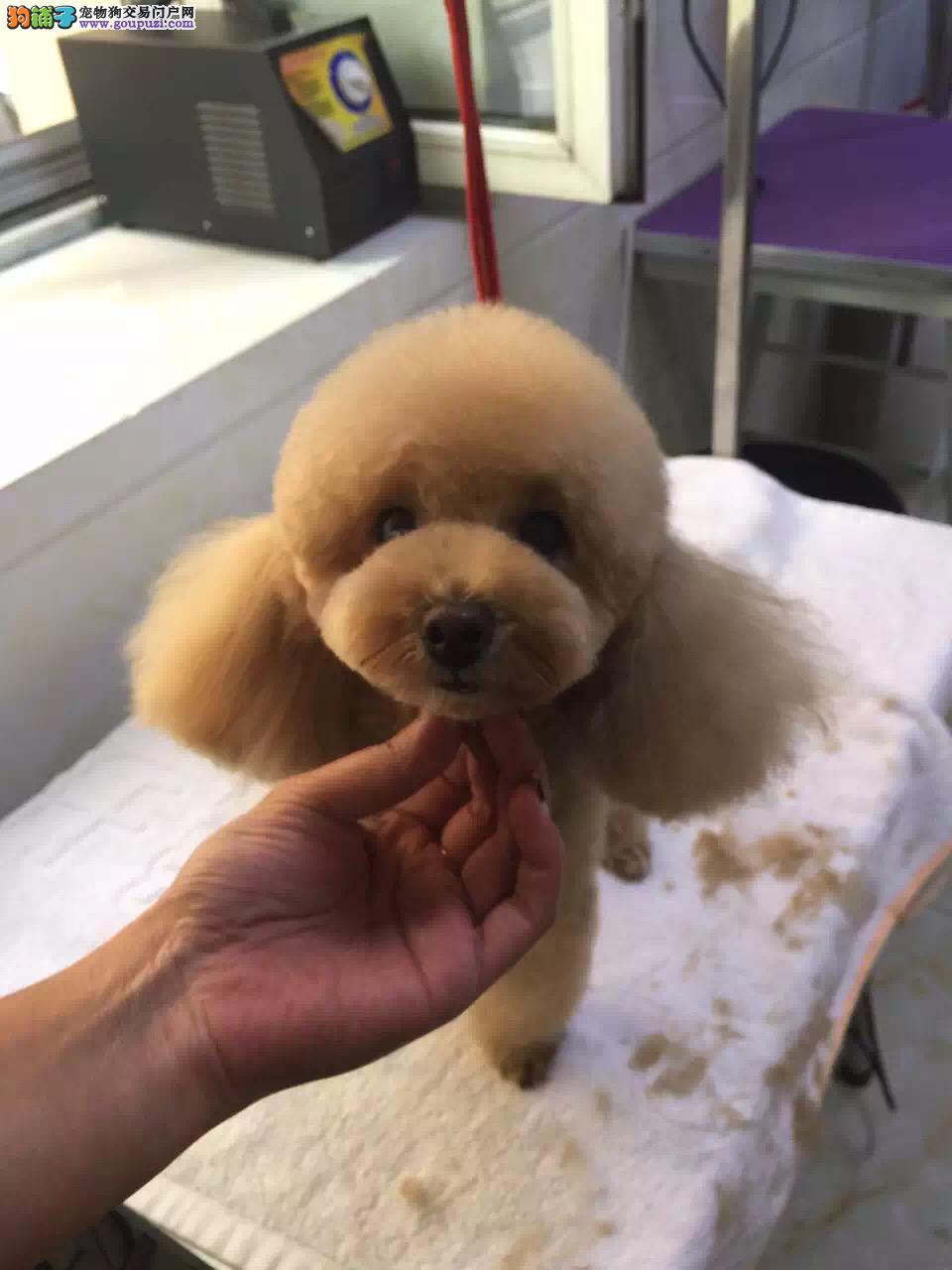 贵宾泰迪犬,实体犬舍,颜色全,无体臭