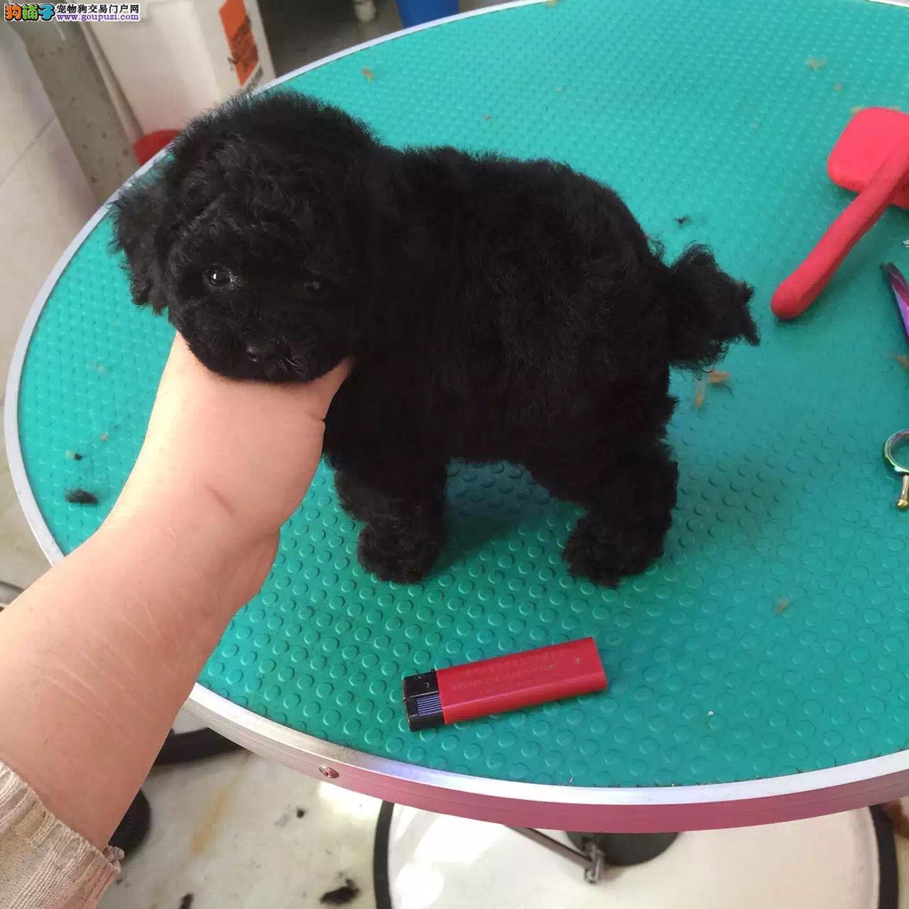 纯种泰迪犬,茶杯犬,玩具泰迪犬