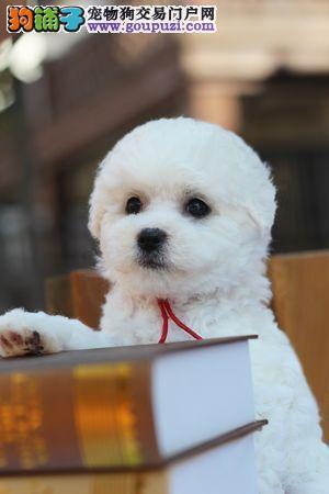 纯种比熊犬,正规繁殖犬舍,出售幼犬