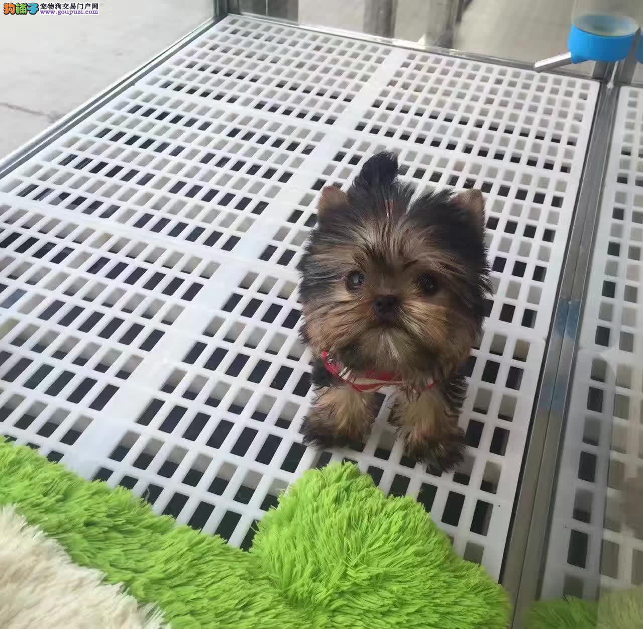 约克夏犬缩略图