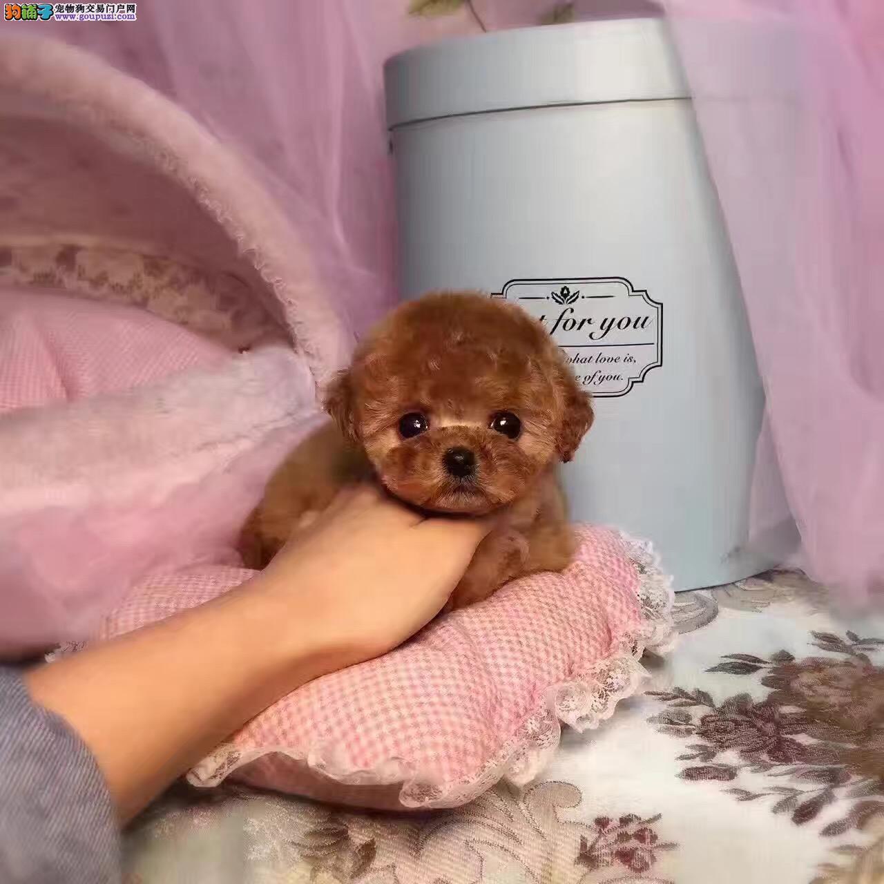 泰迪熊 纯种泰迪熊犬 灰色泰迪熊 茶杯犬,可视频