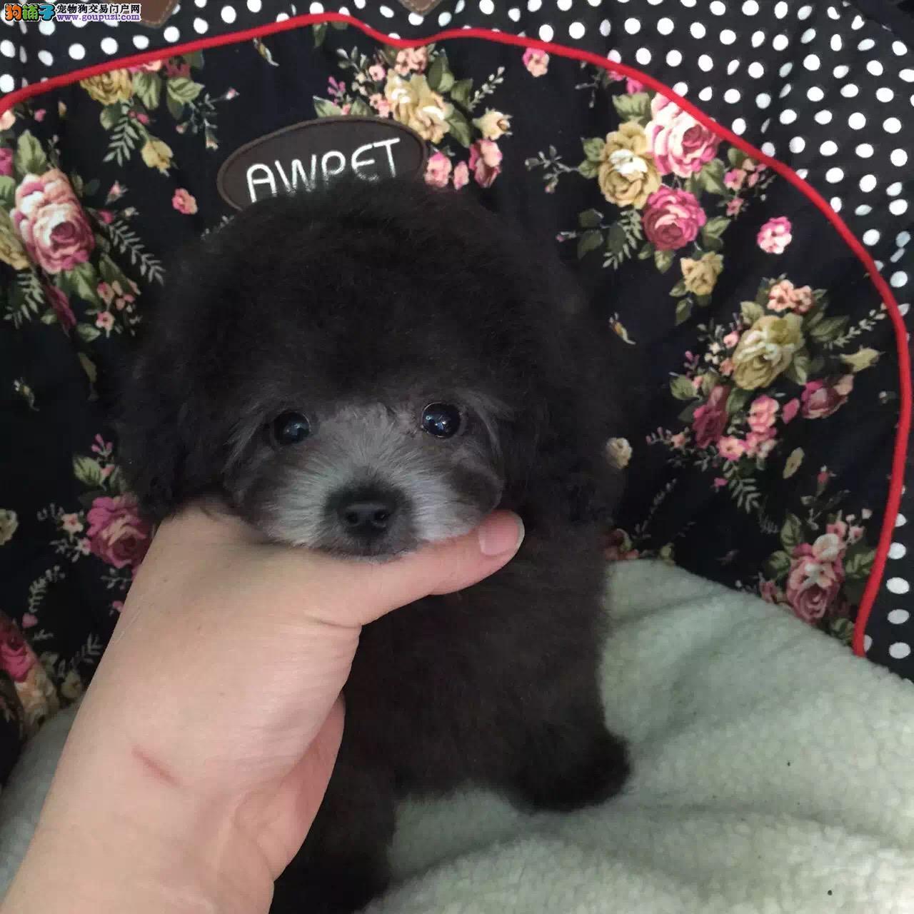 出售纯种贵宾泰迪犬宝宝,实体犬舍繁殖