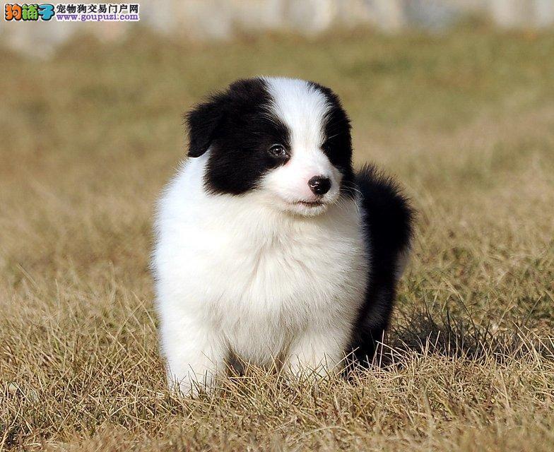 纯种边境牧羊犬,智商第一,七八三通幼犬出售