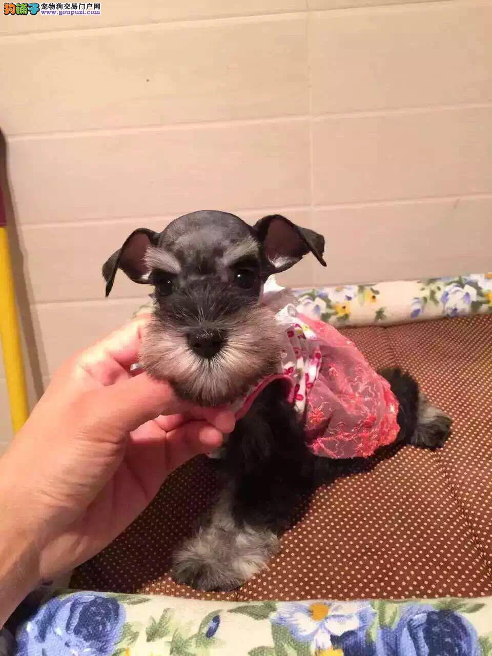 出售纯种雪纳瑞犬,长睫毛,可爱萌宠