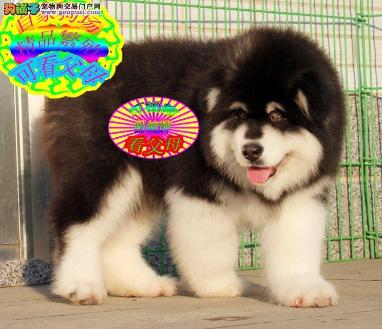 熊版纯种阿拉斯加犬,实体犬舍,实物拍摄,签协议