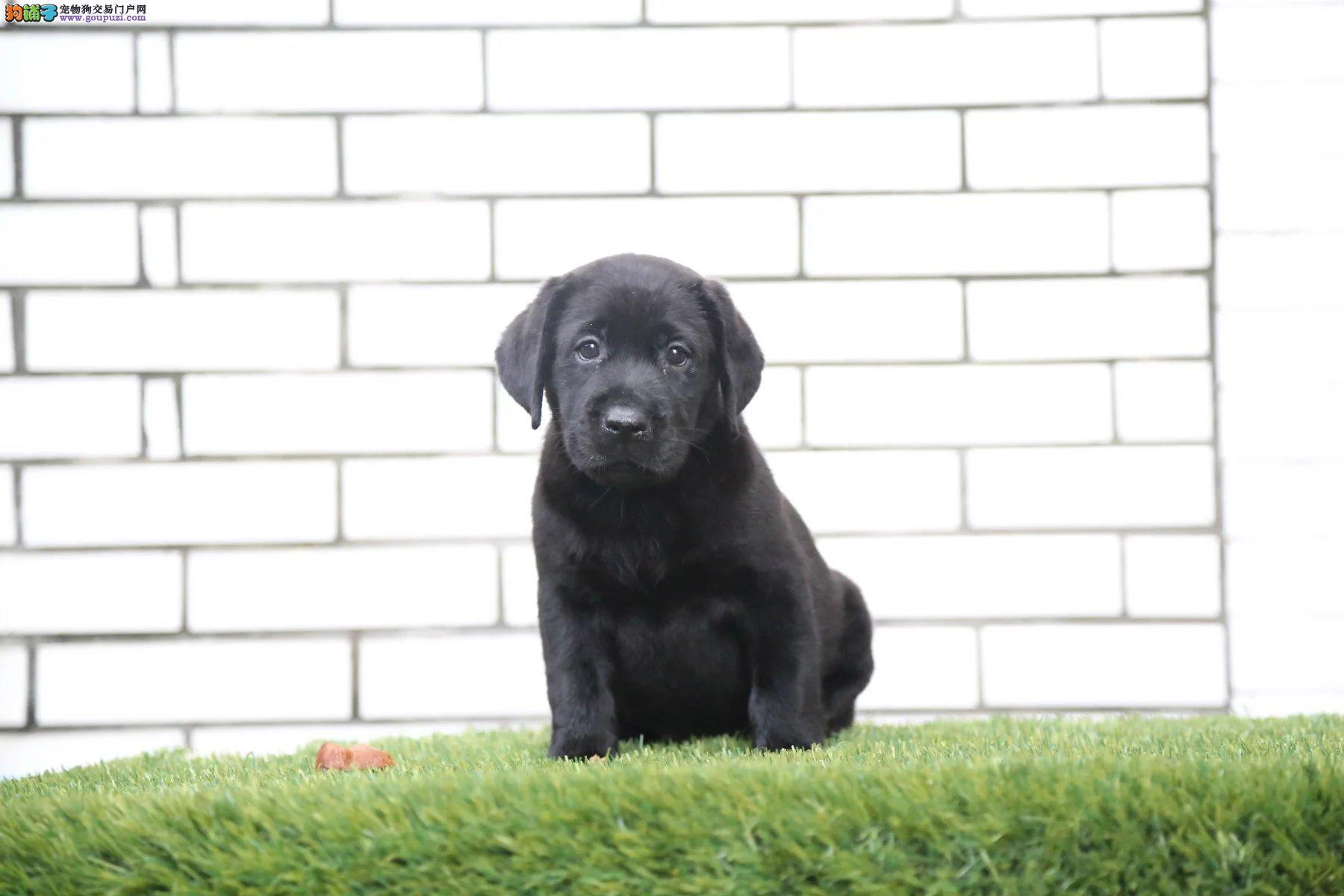 出售赛级纯种拉布拉多犬,可视频,可送货