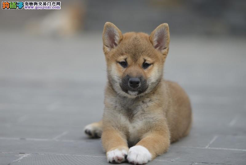 柴犬日系血统,健康包活,可看父母,签协议