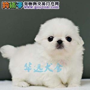 国内最具规模的京巴犬犬舍,保纯种保健康