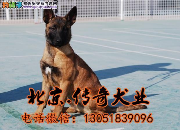 北京马犬价格 赛系马犬价格 马犬养殖基地