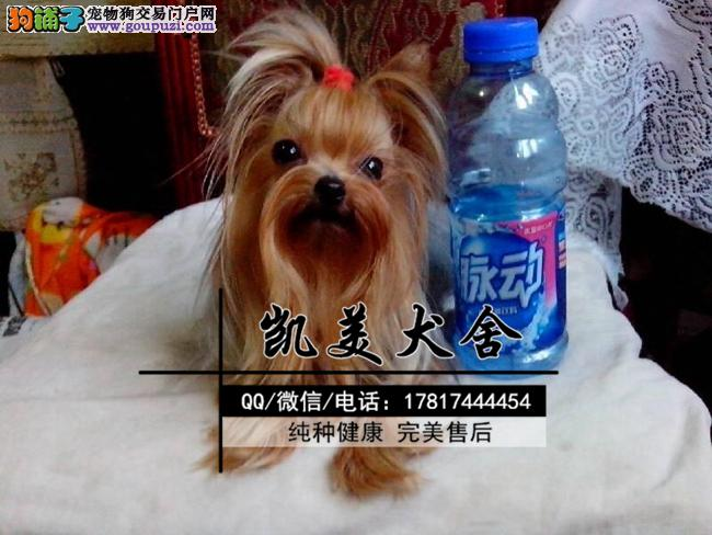 韩版超小体约克夏犬、金头银背、茶杯体约克夏幼犬出售