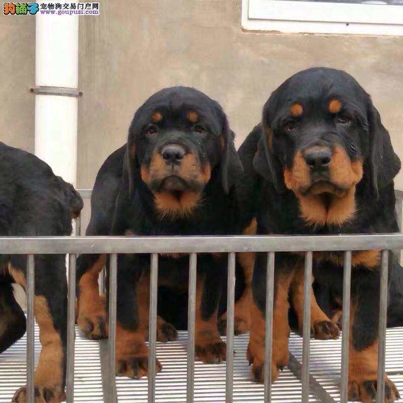 高品质繁殖基地出售罗威那犬