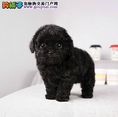 出售泰迪熊幼犬 终生保障 健康纯种 可签质保协议