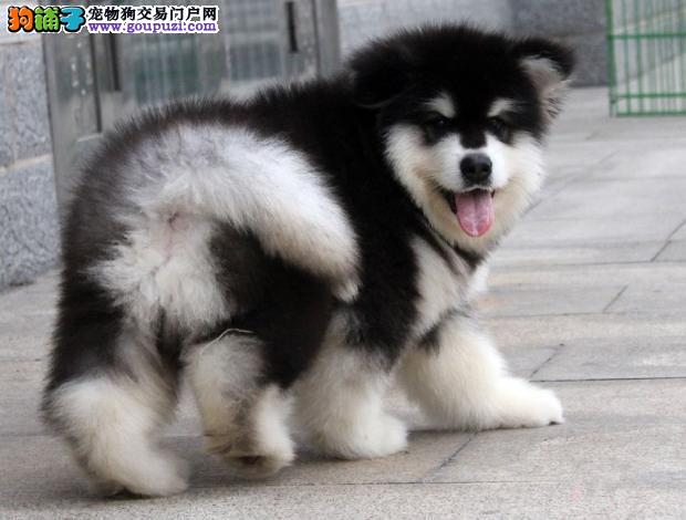 专业繁殖高品质阿拉斯加、可看狗父母、签活体协议