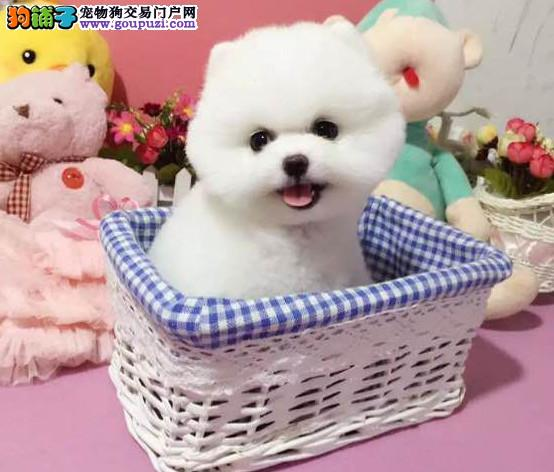 自家繁育纯种哈多利球体博美幼犬 保健康 购买签协议