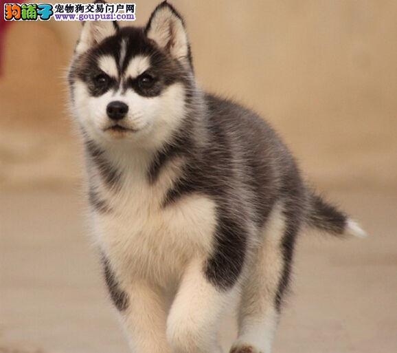 专业繁殖高品质哈士奇犬、可看狗父母、签活体协议