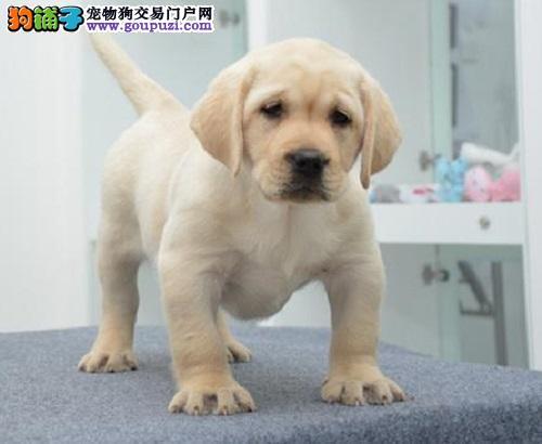 神犬小七专业导盲犬  拉布拉多幼犬  保健康签协议