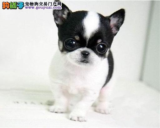 纯种吉娃娃幼犬~疫苗齐全~协议质保签订协议 保纯种