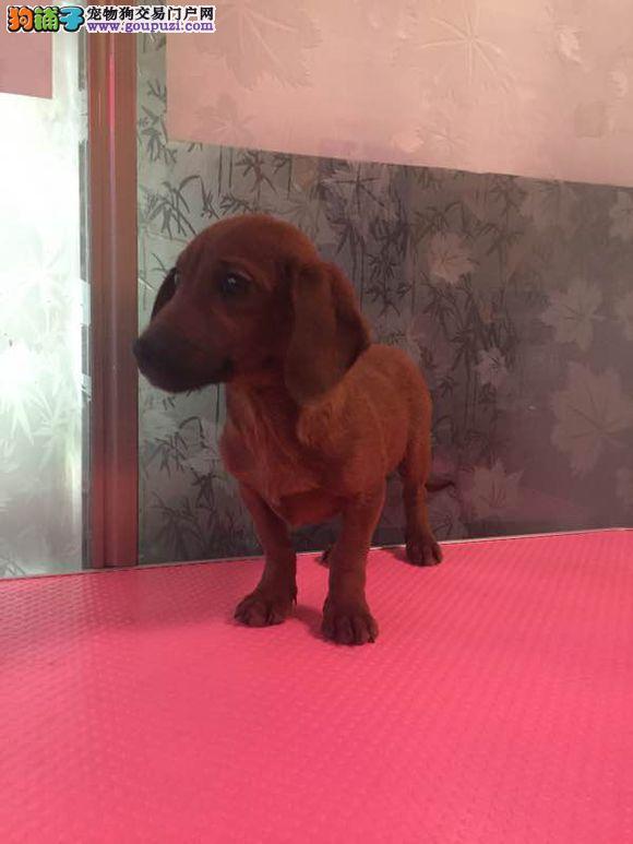 张家界市出售腊肠犬 公母都有 可视频看狗 签售后协议