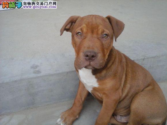 青岛实体店低价促销赛级比特犬幼犬微信看狗可见父母4
