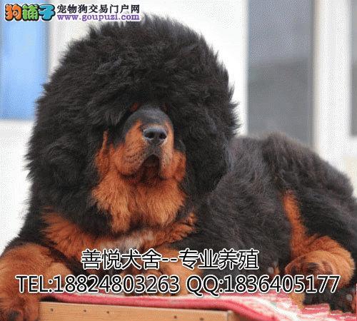深圳哪里买藏獒好 首选善悦犬舍 包健康签协议