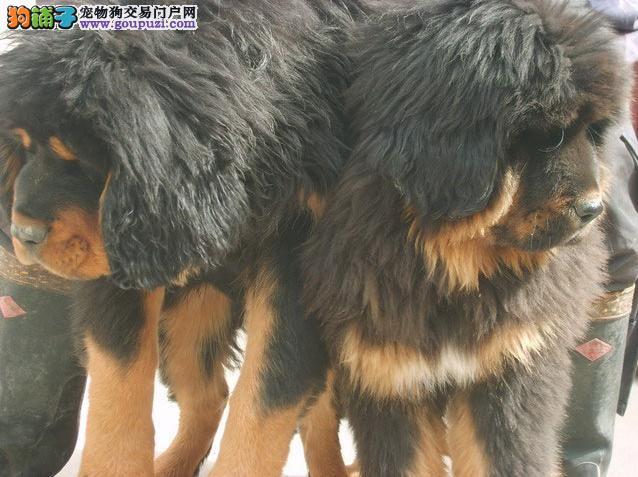 昆明本地狗场繁殖藏獒犬 昆明高品质藏獒小狗点这里