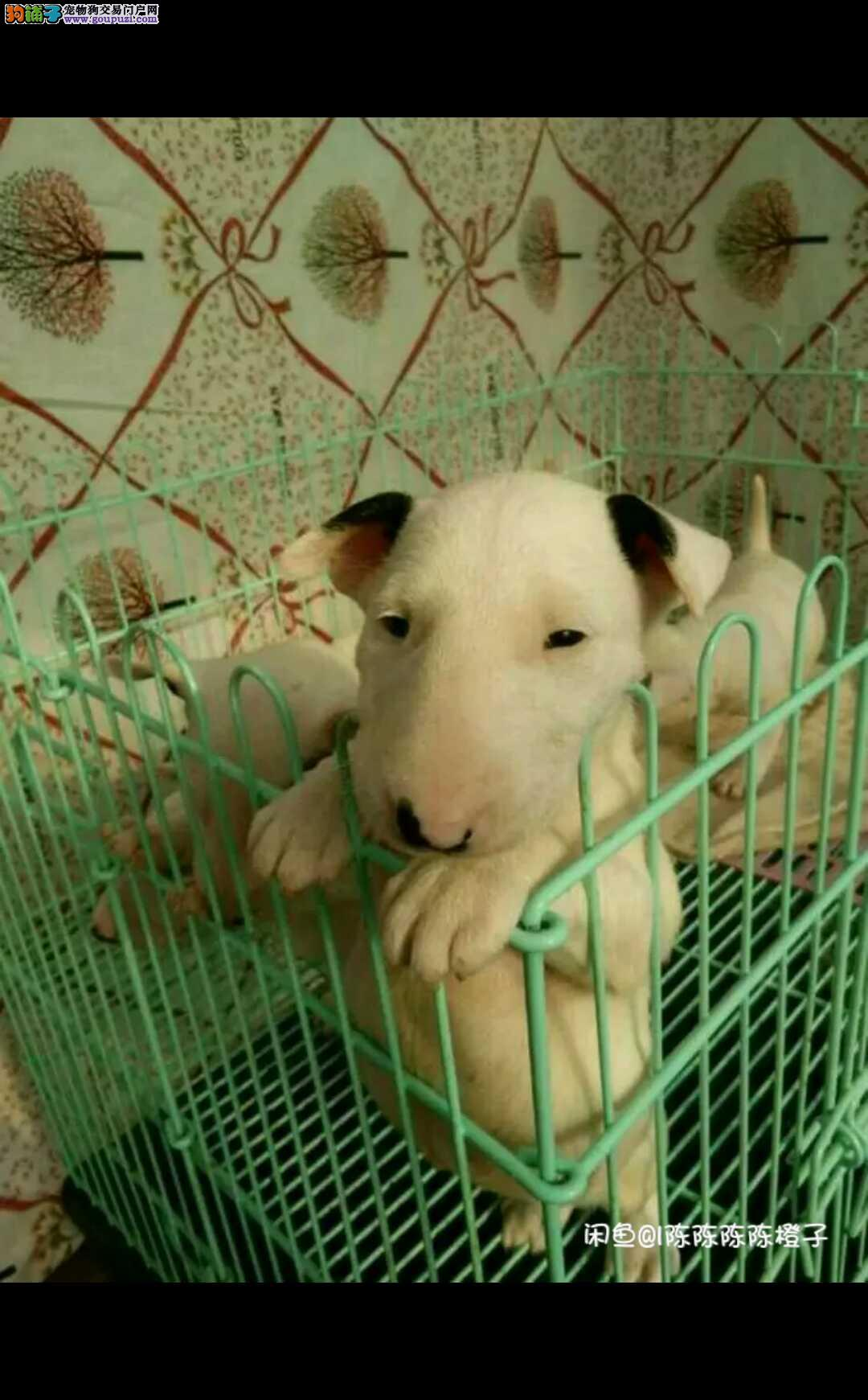 犬舍直销极品牛头梗幼犬 纯白 海盗眼都有