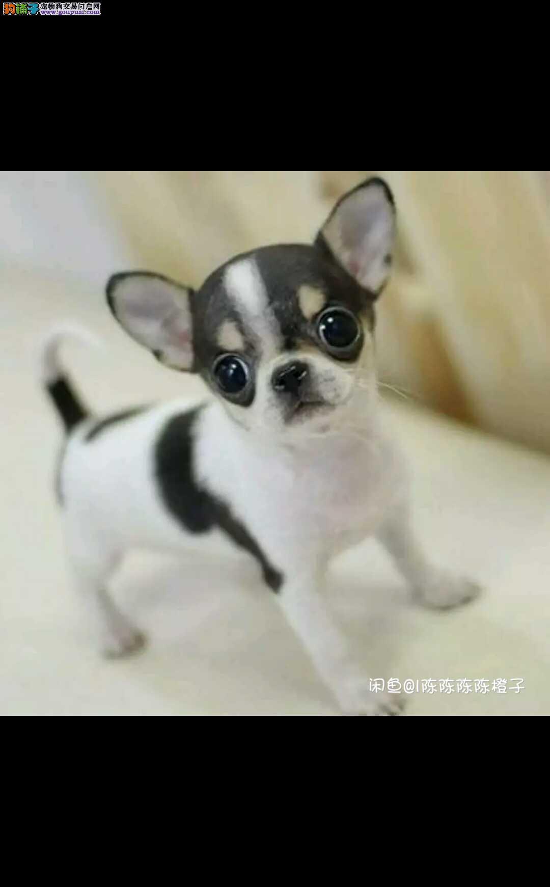 犬舍直销苹果吉娃娃幼犬 墨西哥吉娃娃 疫苗驱虫做完