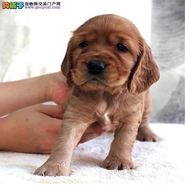 纯种可卡幼犬宝宝 低价出售 保纯种 保健康