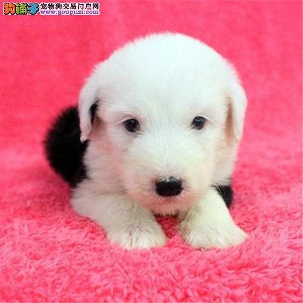 实物拍摄的重庆古代牧羊犬找新主人终身完善售后服务
