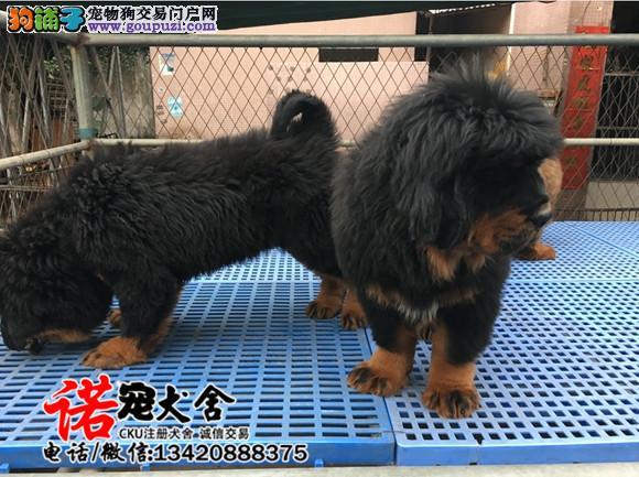 专业繁殖藏獒犬 基地直销 保纯种健康 欢迎实地挑选