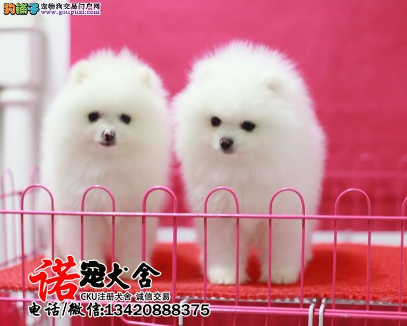 专业繁殖博美犬 基地直销 保纯种健康 欢迎实地挑选