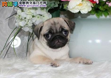 纯种迷你巴哥幼犬 疫苗完全质量有保满脸褶皱巴哥幼犬