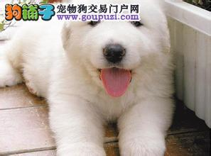 憨厚可爱的大白熊毛色亮丽品质有保证